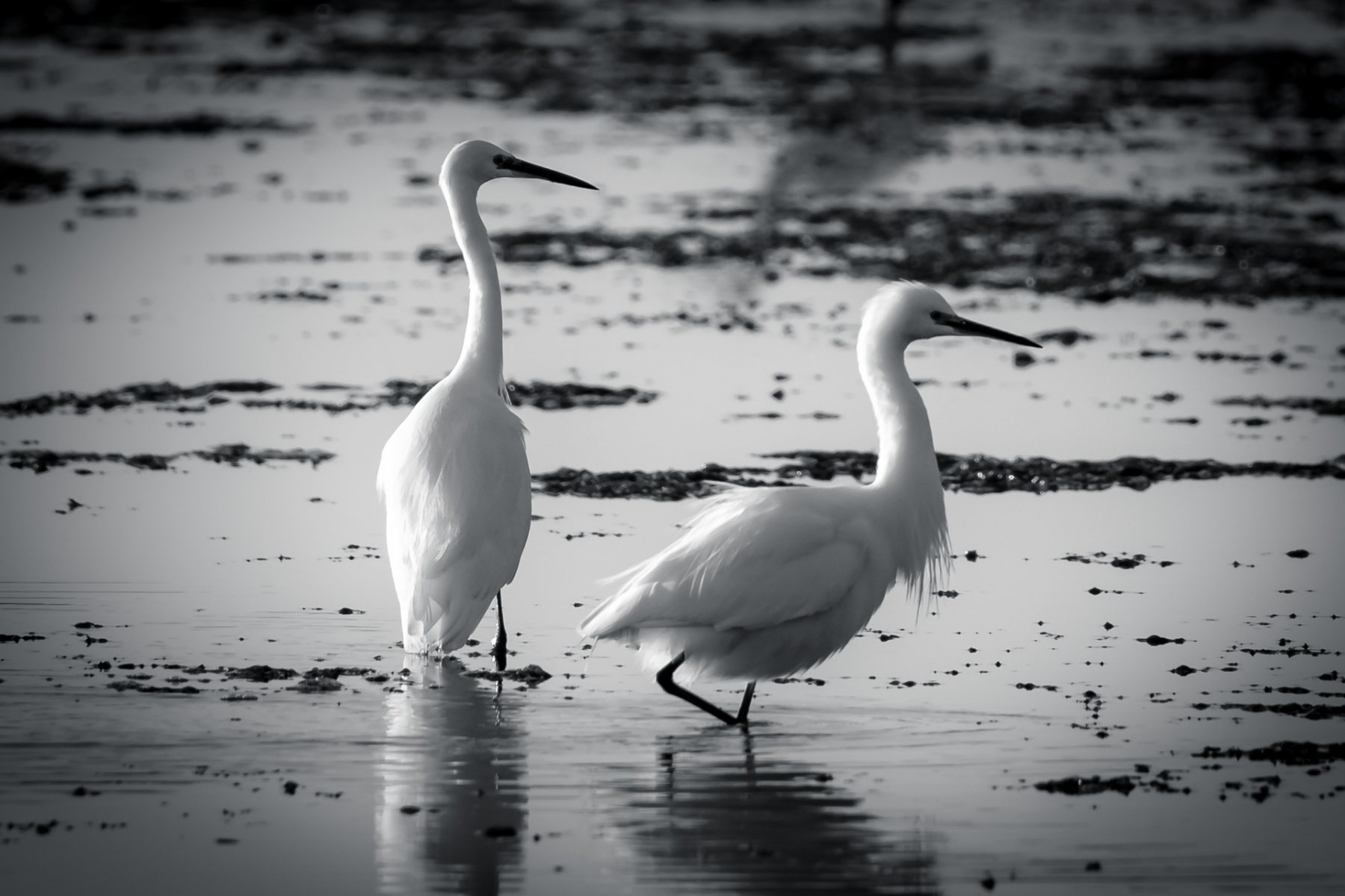 Arne Little Egrets