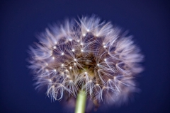Dandelion dark blue