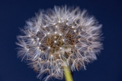 Dandelion dark blue 2