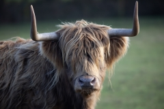 Highland-Cattle 7